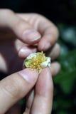 blomma tea Arkivbild