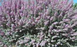 Blomma Texas Ranger Royaltyfria Bilder