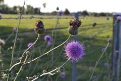 Blomma Thistle Arkivbilder