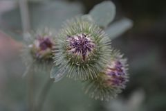 blomma tistel, lila, ryggar, taggar, taggig knopp, knopp, solros, natur, växt, gräsplan, vår, makro, Royaltyfria Foton