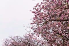 Blomma trädet i rosa blomma, rosa trumpetträd Arkivfoton