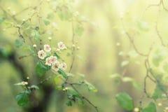 Blomma trädet med vita blommor, blom- abstrakt bakgrund för vår, mjuk fokus royaltyfria foton