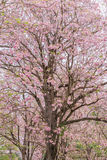 Blomma trädet som blommar i sommar, rosa färg trumpetar Royaltyfri Foto