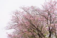 Blomma trädet som blommar, och vit himmel, rosa färg trumpetar Royaltyfri Fotografi