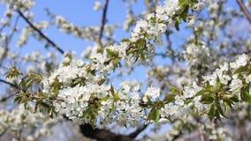 Blomma trädfilialer i vår med vita blommor tätt upp lager videofilmer