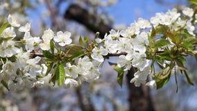 Blomma trädfilialer i vår med vita blommor tätt upp arkivfilmer