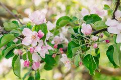 Blomma trädgården i solig dag för vår, blommor av äppleträdet royaltyfri bild