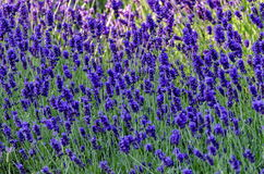 Blomma trädgården med lavendel i vår Arkivfoton