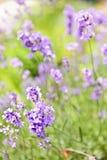 blomma trädgårds- lavendel fotografering för bildbyråer