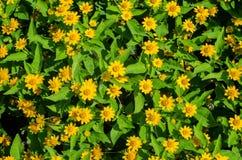 blomma trädgårds- yellow Royaltyfria Foton