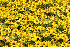 blomma trädgårds- yellow Arkivfoton