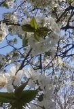 blomma tree Royaltyfri Fotografi