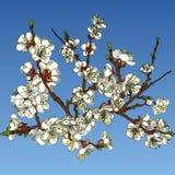 blomma tree för äpple stock illustrationer