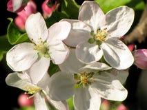 blomma tree för äpple Arkivfoton