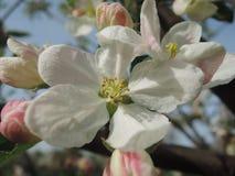 blomma tree för äpple Royaltyfria Bilder