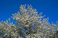 blomma tree för äpple Royaltyfri Bild