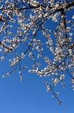 blomma tree för äpple Arkivbild