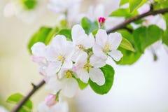 blomma tree för äpple Royaltyfri Foto