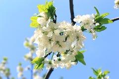 blomma tree för äpple Arkivbilder