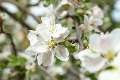blomma tree för äpple Royaltyfri Fotografi