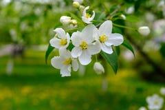 blomma tree för äpple Royaltyfria Foton