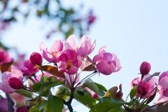blomma tree för äpple blå sky för bakgrund Fotografering för Bildbyråer