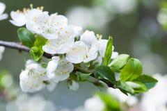 blomma tree för äpple Vita blommor för makrosikt Vårnaturlandskap mjukt bakgrundsfoto fotografering för bildbyråer