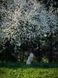 blomma tree för äpplebakgrund Royaltyfri Fotografi