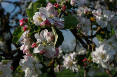 blomma tree för äpplebakgrund Arkivfoto