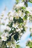 blomma tree f?r ?pple royaltyfria foton