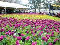 Blomma Tulip Festival Royaltyfria Bilder