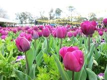 Blomma Tulip Festival Arkivfoton