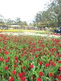 Blomma Tulip Festival Royaltyfri Bild