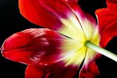 blomma tulpan Arkivfoto