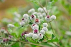 Blomma ullig Burdock (arctiumen Tomentosum) royaltyfria bilder