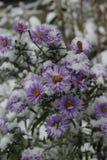 Blomma under snö Royaltyfria Bilder