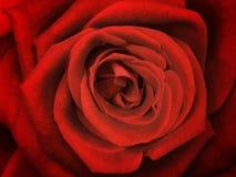 Blomma upp den nya röda rosen, ljust bakgrundsslut för blomma Royaltyfri Bild