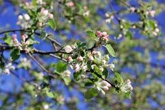 Blomma upp trädet i vårslut arkivfoton