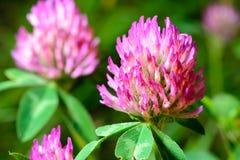 blomma växt av släkten Trifolium Royaltyfri Foto