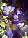 Blomma vår, natur, lila, växt, krokus som är violett, royaltyfri foto