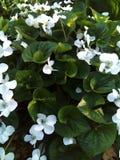 Blomma vår, natur som är vit arkivbilder