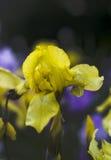 Blomma våren - gul svärdslilja Arkivbild