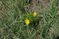 Blomma vårfasan` s syna i gräset arkivfoto