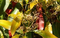 Blomma vårfikus Royaltyfri Fotografi