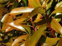 Blomma vårfikus Arkivfoton