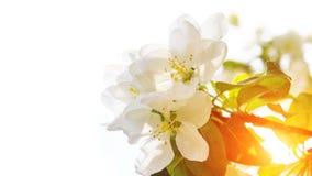 Blomma vårträdet på gryning med copyspace royaltyfri bild