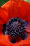 blomma vallmored Royaltyfria Foton
