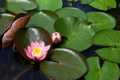 blomma vatten Arkivfoton
