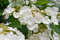 blomma viburnum Fotografering för Bildbyråer