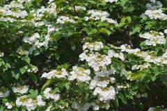 blomma viburnum Royaltyfria Bilder